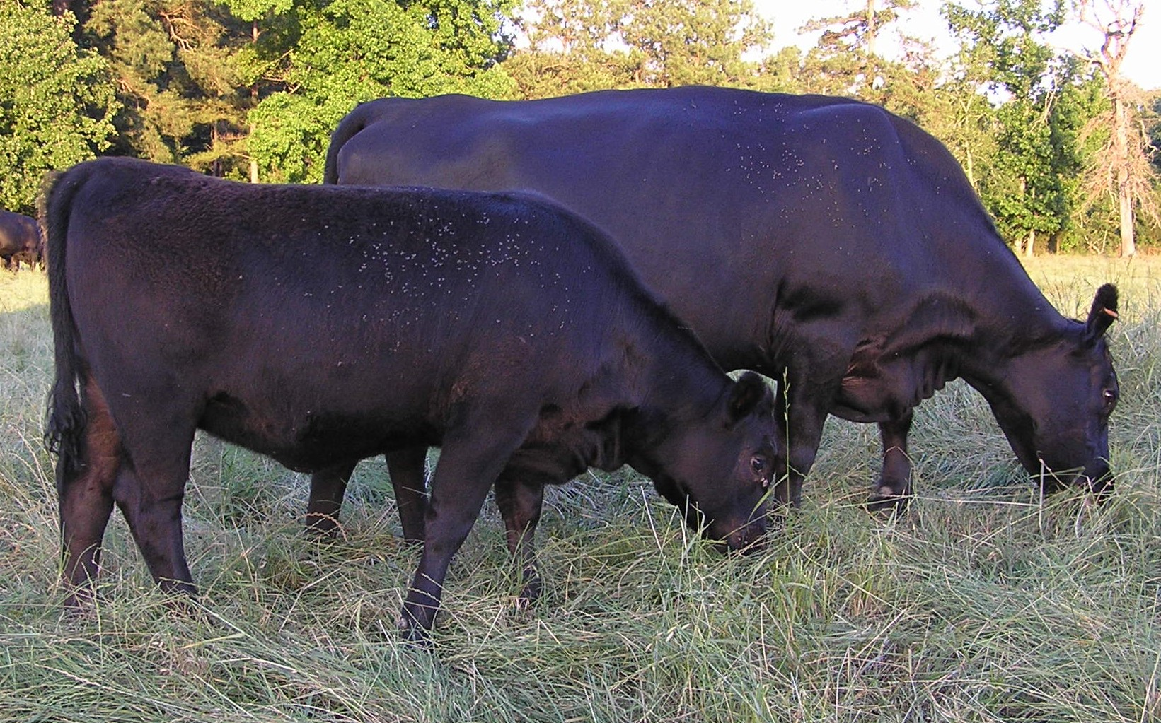 Connealy Lead On with TC Total 410 heifer calf, Calf Reg # 17781246