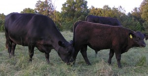 Travler 234D cow with Connealy Lead On bull calf, Calf Reg # 17781242