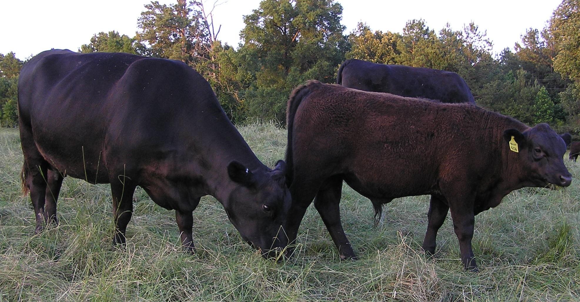 Travler 234D cow with Connealy Lead On bull calf, Calf Reg # 17781242